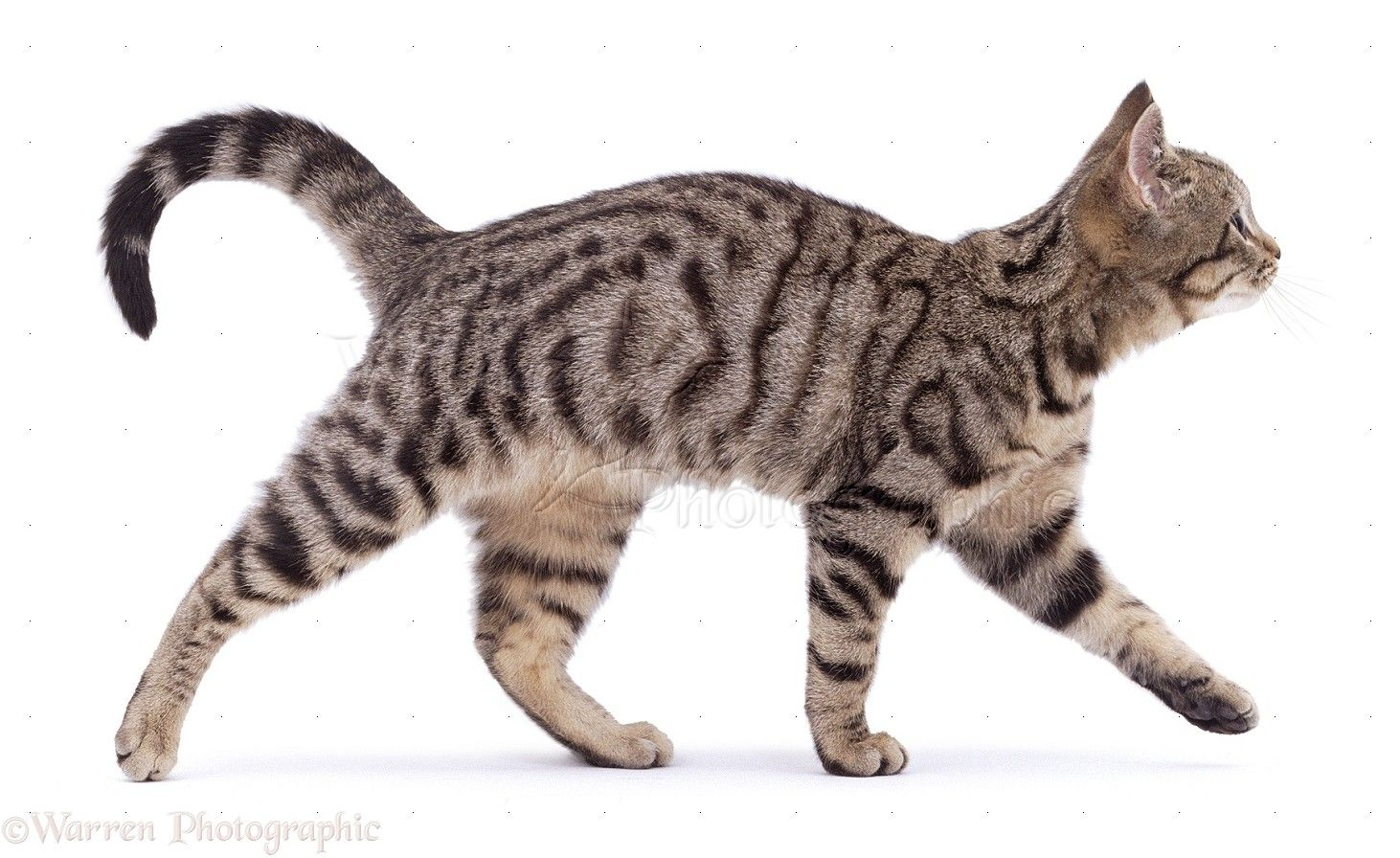 Cats walk with a pacing gait...they move both legs on one side in ...