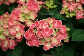 Hydrangea macrophylla 'Tivoli'