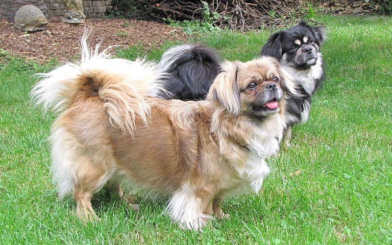 Tibbies Tibetan Spaniel Cute Animals Dogs