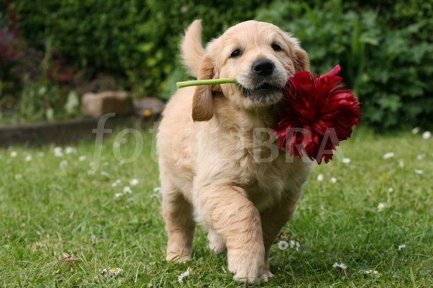 Cute Puppies And Kittens Cute Baby Dogs Golden Retriever