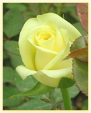 Out The Front Window Hybrid Tea Roses Yellow Roses Beautiful Flowers