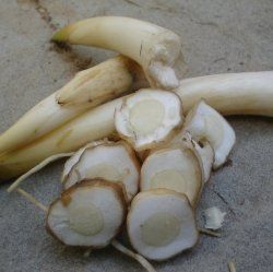 Wild Foods: Cattail Roots - With every part of the plant being edible in some way and its distribution nearly universal across North America, the cattail is a good plant to know!