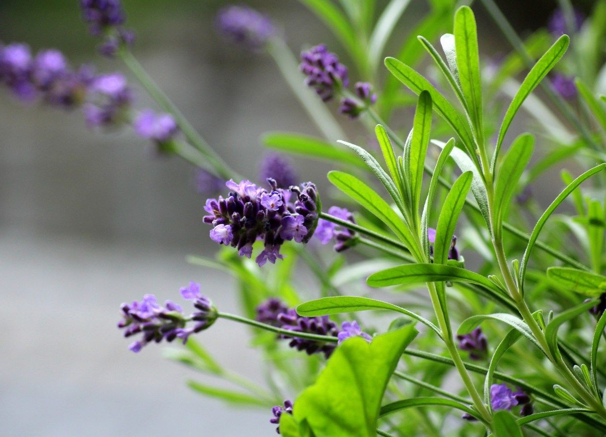 Indoor lavender plant care indoor lavender plant