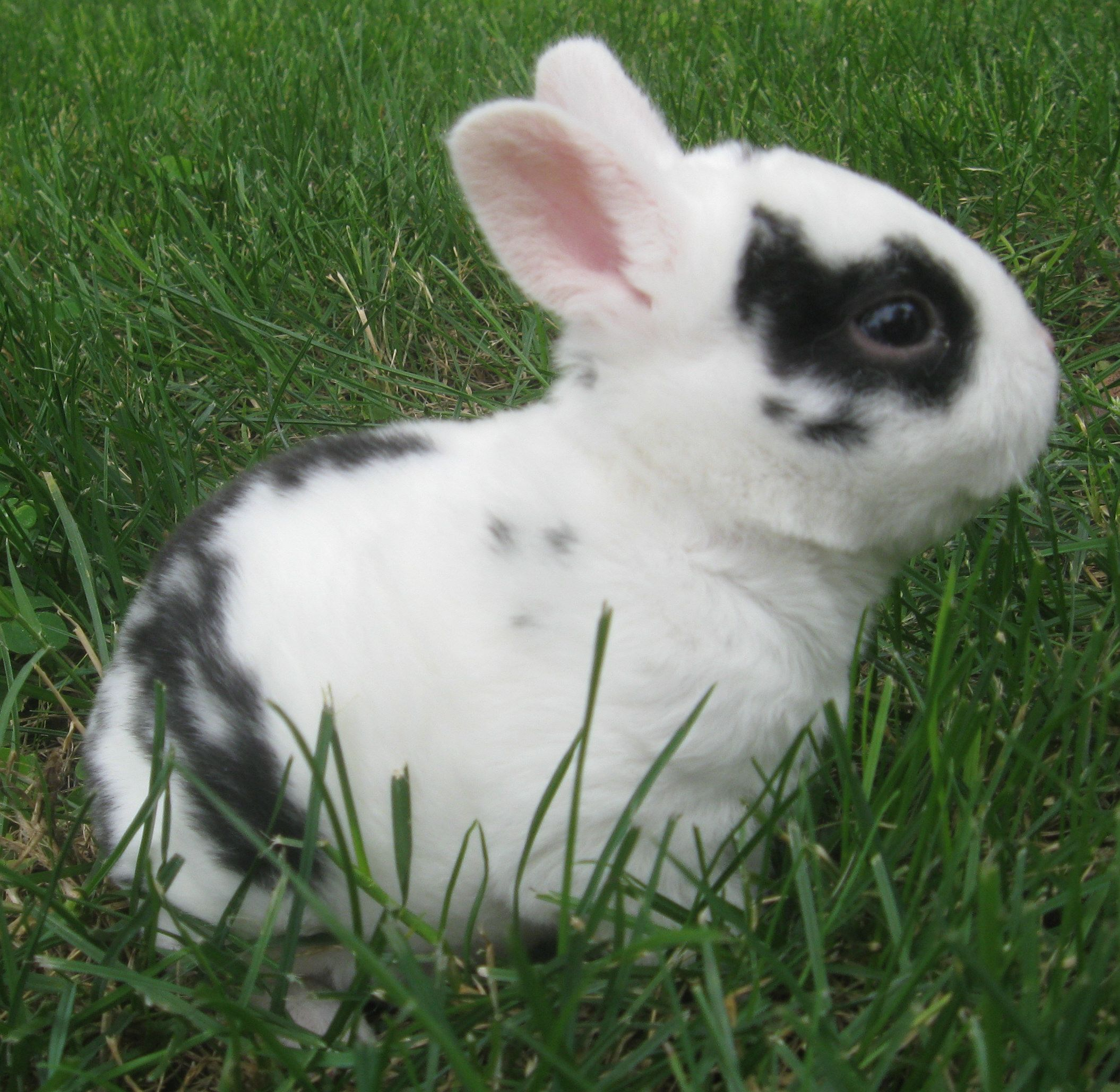 Black And White Mini Rex Rabbits | www.imgkid.com - The ...