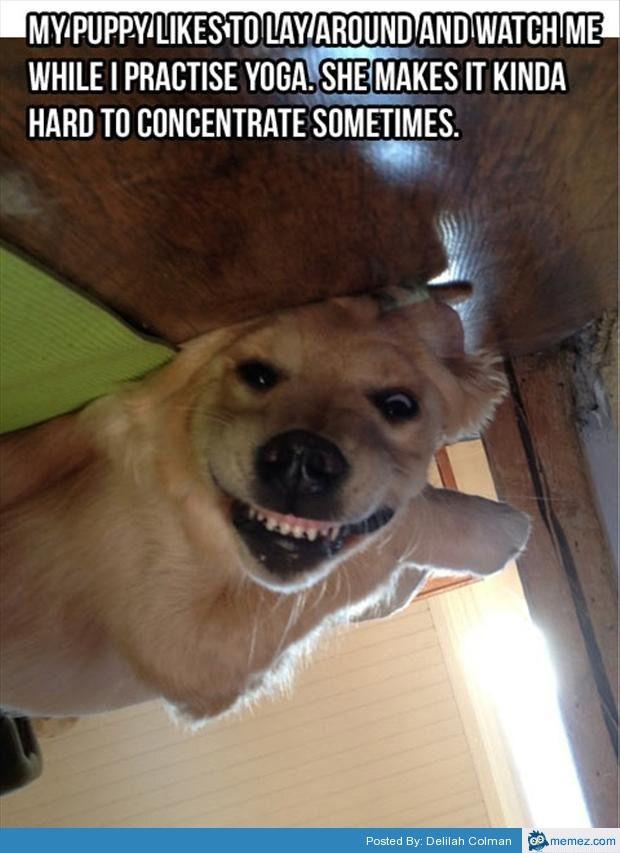 60121503e59ea3ea74b27c15ae08e77a yoga with my dog memes com funny animals pinterest dog