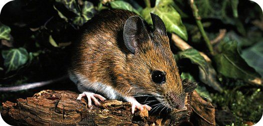 Symbolic Mouse Meaning Symbolic Messages Pinterest Mice