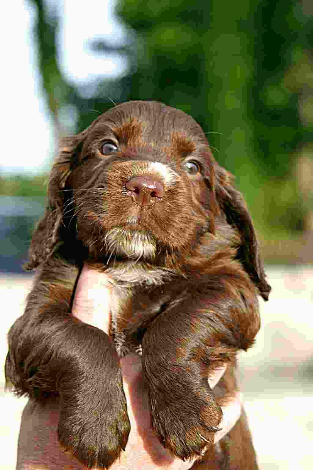 Cocker Spaniel Can It Get Any Cuter Cocker Spaniel Puppies Spaniel Puppies Show Cocker Spaniel