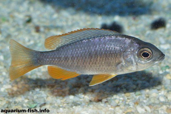 A Female I Copadichromis Borleyi I Cichlids Malawi Cichlids Fish Pet
