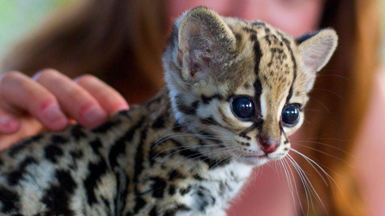 10 Rarest Cat Breeds In The World Rare cats, Rare cat