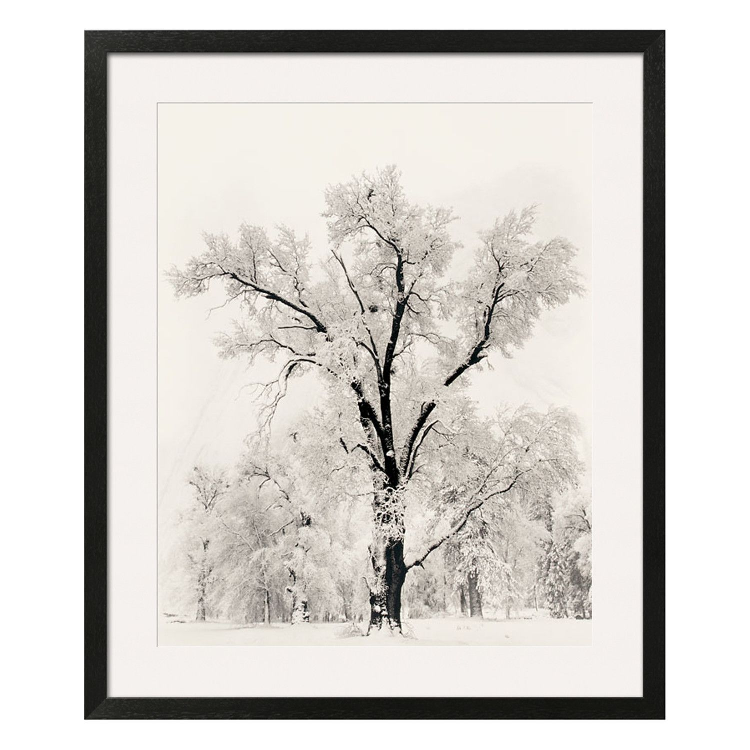 Ansel Adams Oak Tree One Of America S Most Beloved Photographers And Environmentalists Ansel Adams Landscapes Of Ansel Adams Framed Art Prints Amanti Art