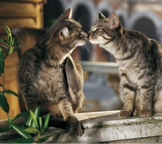 Cute Cats Kisses - Lovely Cats