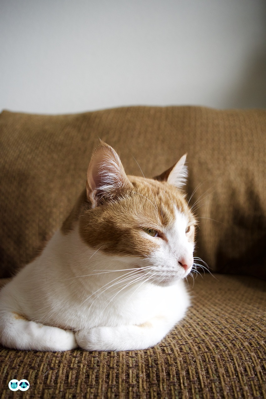 How serious is a heart murmur in cats? Pet care logo
