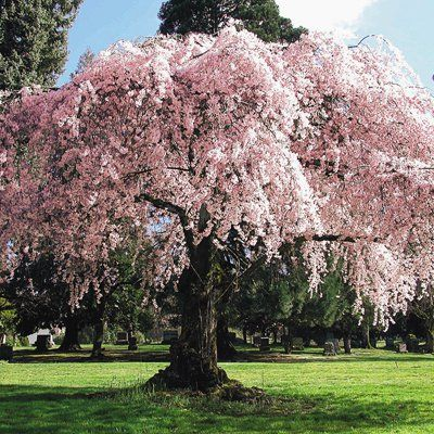 Weeping Cherry Weeping Cherry Tree Smoke Tree Potted Trees