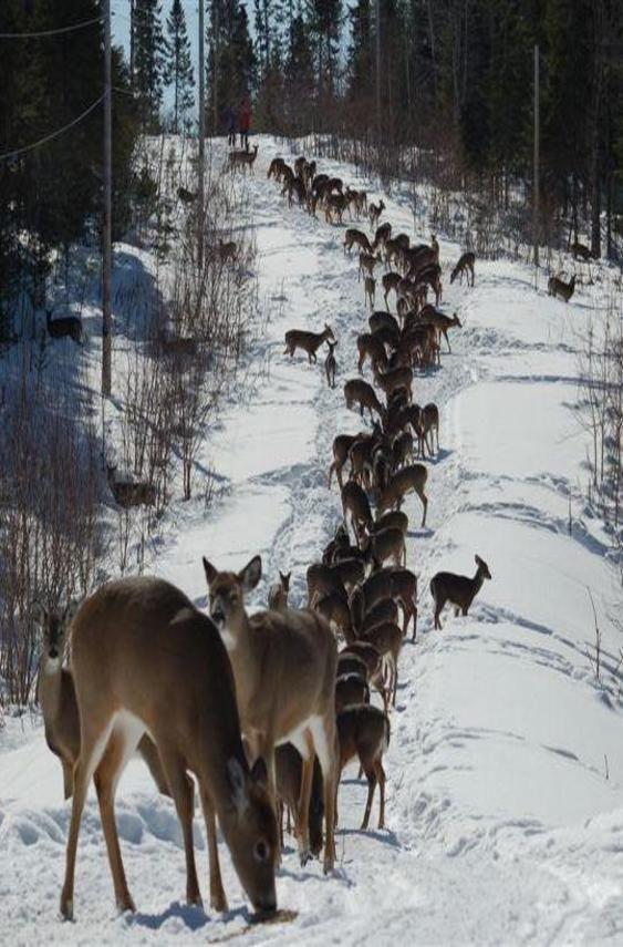 Deer...Lots Of Deer - getting ready to pull the sleigh ...