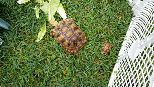 My Tortoises In There Out Side Playpen Tortoise Habitat