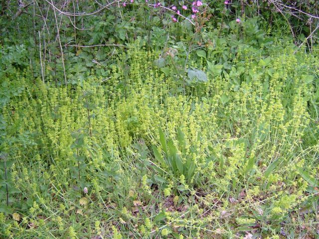Crosswort (Cruciata laevipes)