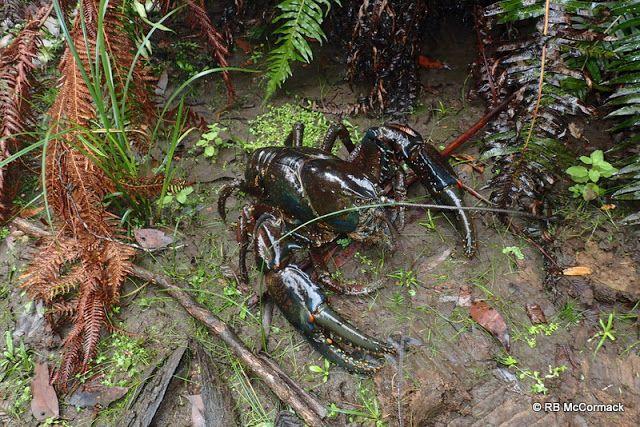 The Worlds Largest Crayfish Astacopsis Gouldi Crayfish