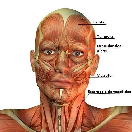 Sistema Muscular Músculos Do Corpo Humano Anatomia Do