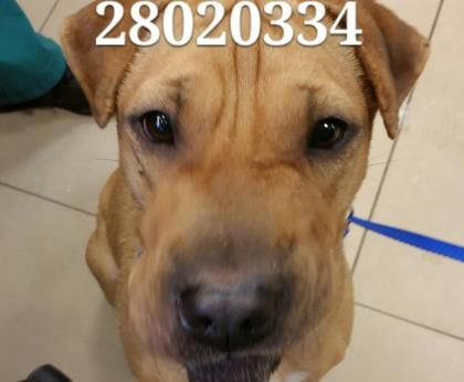 Adopt Roxy A Lovely Dog Available For Adoption At Petango Com Roxy Is A Chinese Shar Pei Mix And Is Available At The Pasco County Dogs Rescue Dogs Shar Pei Mix