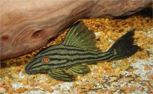 Royal Plecostomus, Royal Panaque, Royal Catfish, L190