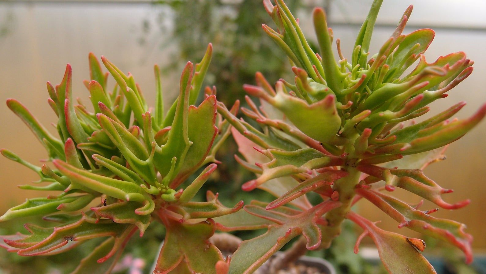 Kalanchoe 'Green Spider' live succulent plant | Planting ...