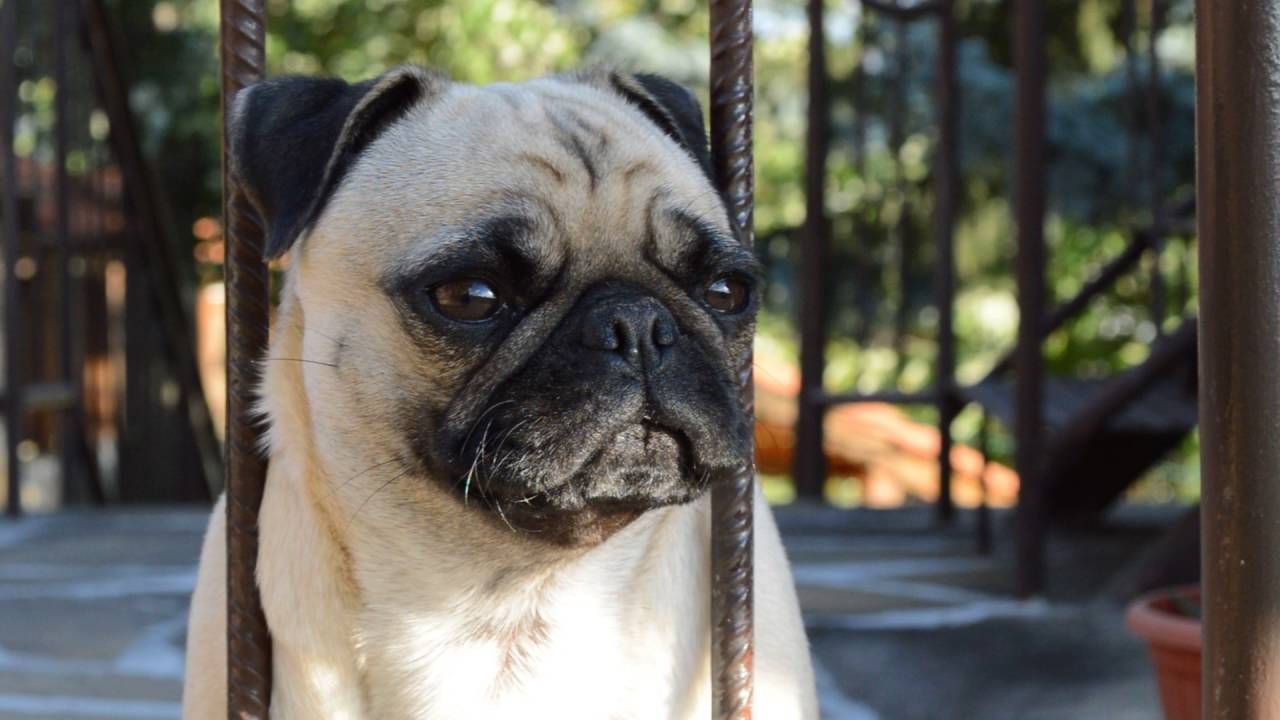 Sure Ways To Stop Your Pug Barking Up A Storm Pugstime Pugs