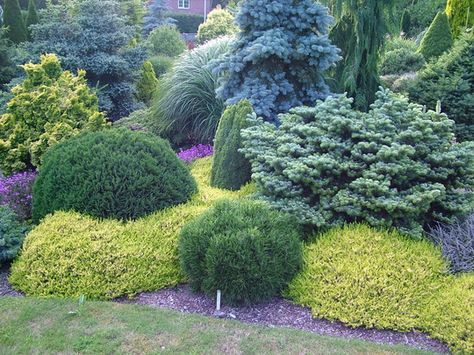 contrasting dwarf conifers landscaping