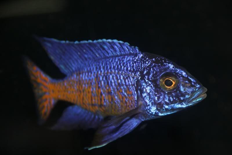 Ngara Flametail