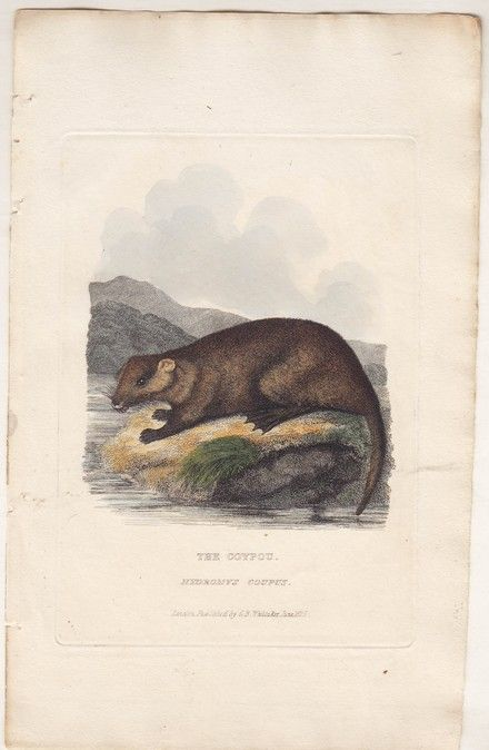 "Georges Cuvier: The Coypou ($35) - Georges Cuvier: The Coypou  Antique Print. Circa 1800s  Hand-coloured copper engraving from first English edition of Baron Cuvier's renowned ""Animal Kingdom"". Mounted on acid-free mat."