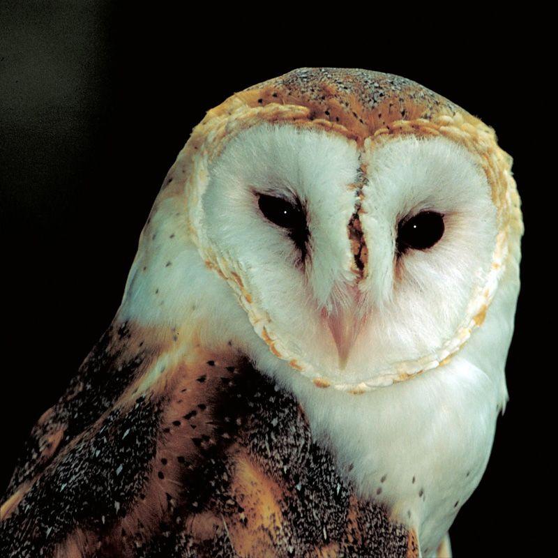 Barn Owl Close-up | Nocturnal animals, Owl, Owl photos