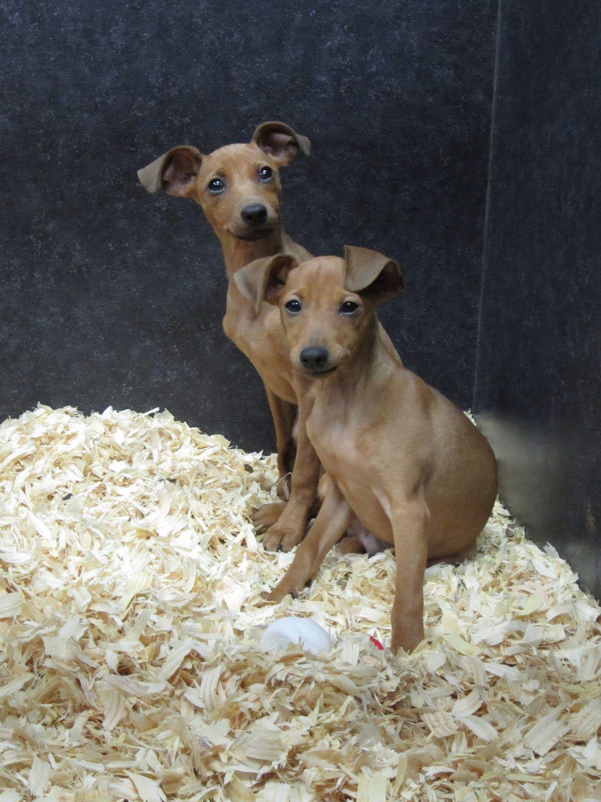 A Conservative Blog For Peace Beautiful Puppy Italian Greyhound Miniature Pinscher