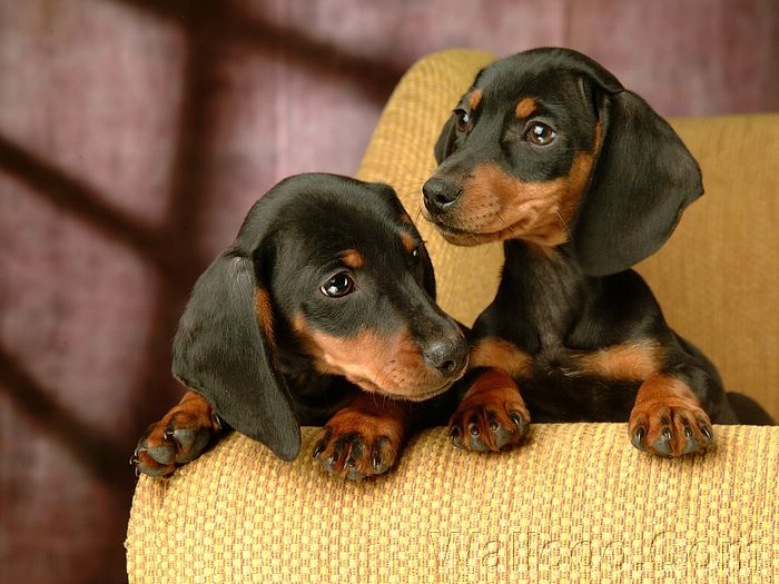 Cuddly Puppies Hd Dachshund Puppy Wallpapers Vol 2 1920 1200