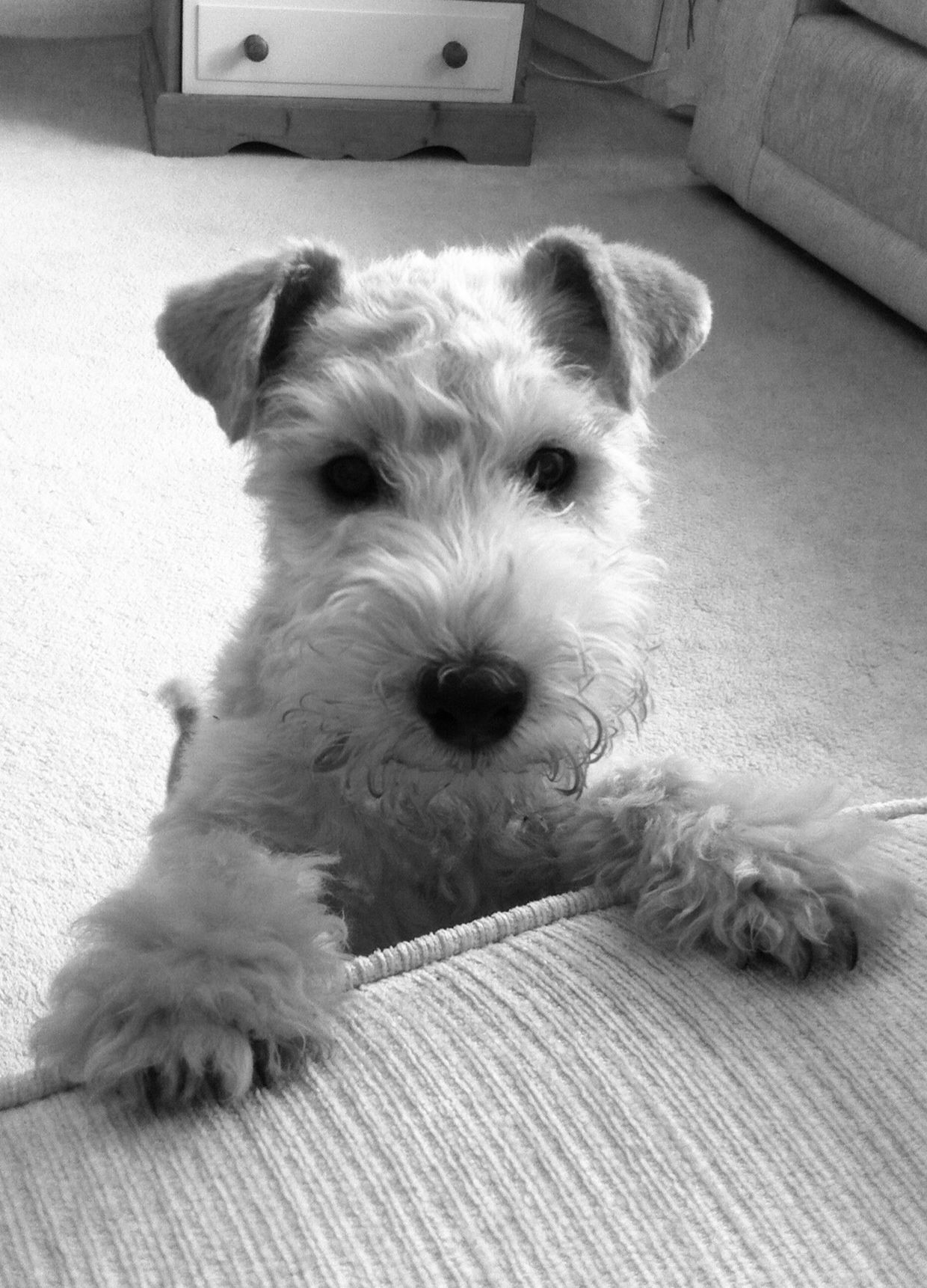 Hello There Wire Fox Terrier Wirehaired Fox Terrier Fox Terrier