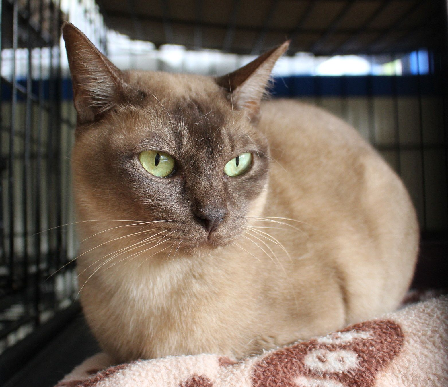 Albertine A Recently Rehomed Burmese Cat Burmese Cat Cats Cats And Kittens