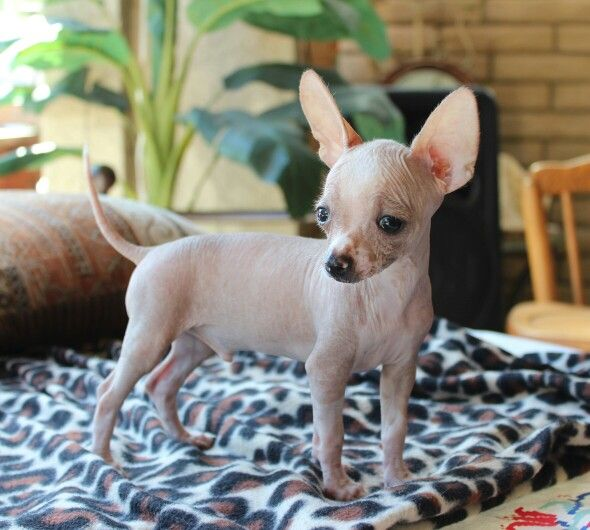 Mexican Hairless Chihuahua Male 11 Weeks For Sale 80000 Has