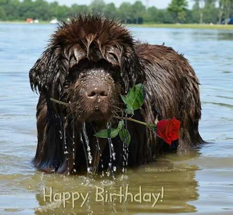The best Birthday card ever!   Newfoundland dog, New puppy ...