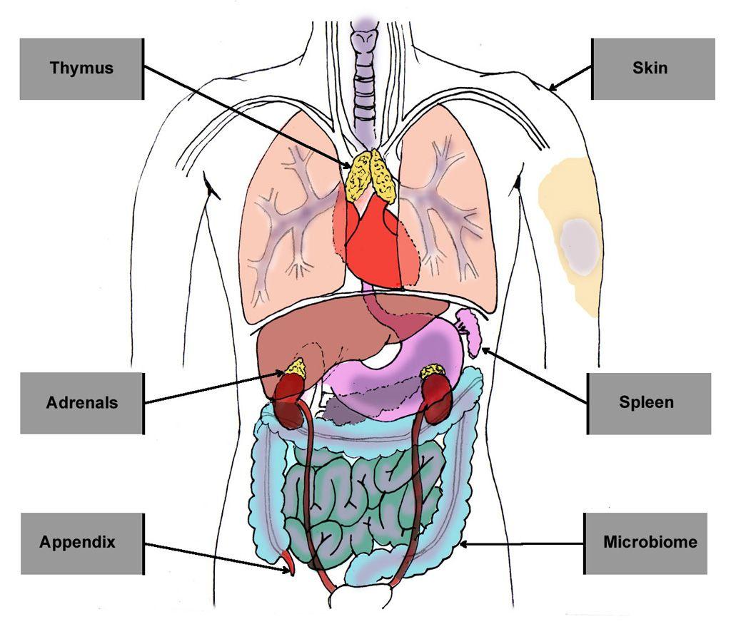 Diagram Of Spleen Location Human Anatomy Study Human Body Human
