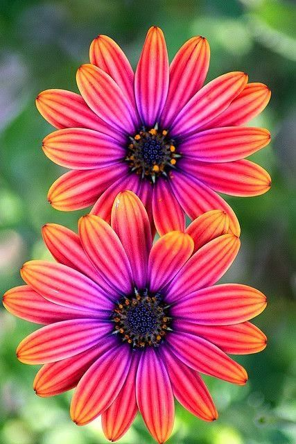 Osteospermum Light C Beautiful Gorgeous Pretty Flowers Gerbera