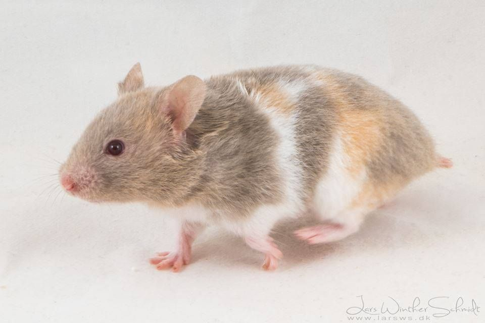 Dove Tricolor Sh Syrian Hamster Hamster Animals