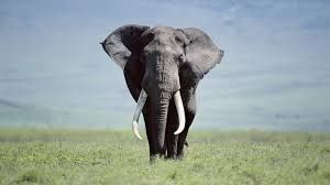 elephant - elefante