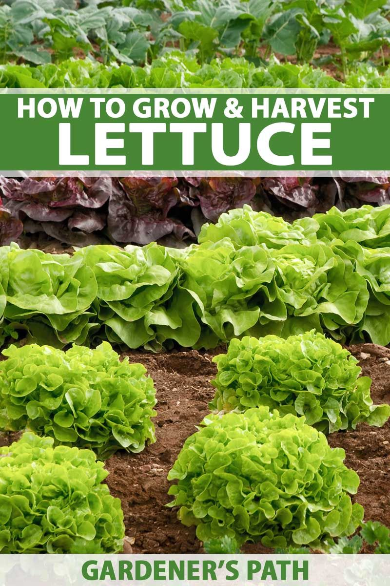 How To Grow Lettuce And Microgreens Growing Lettuce How To