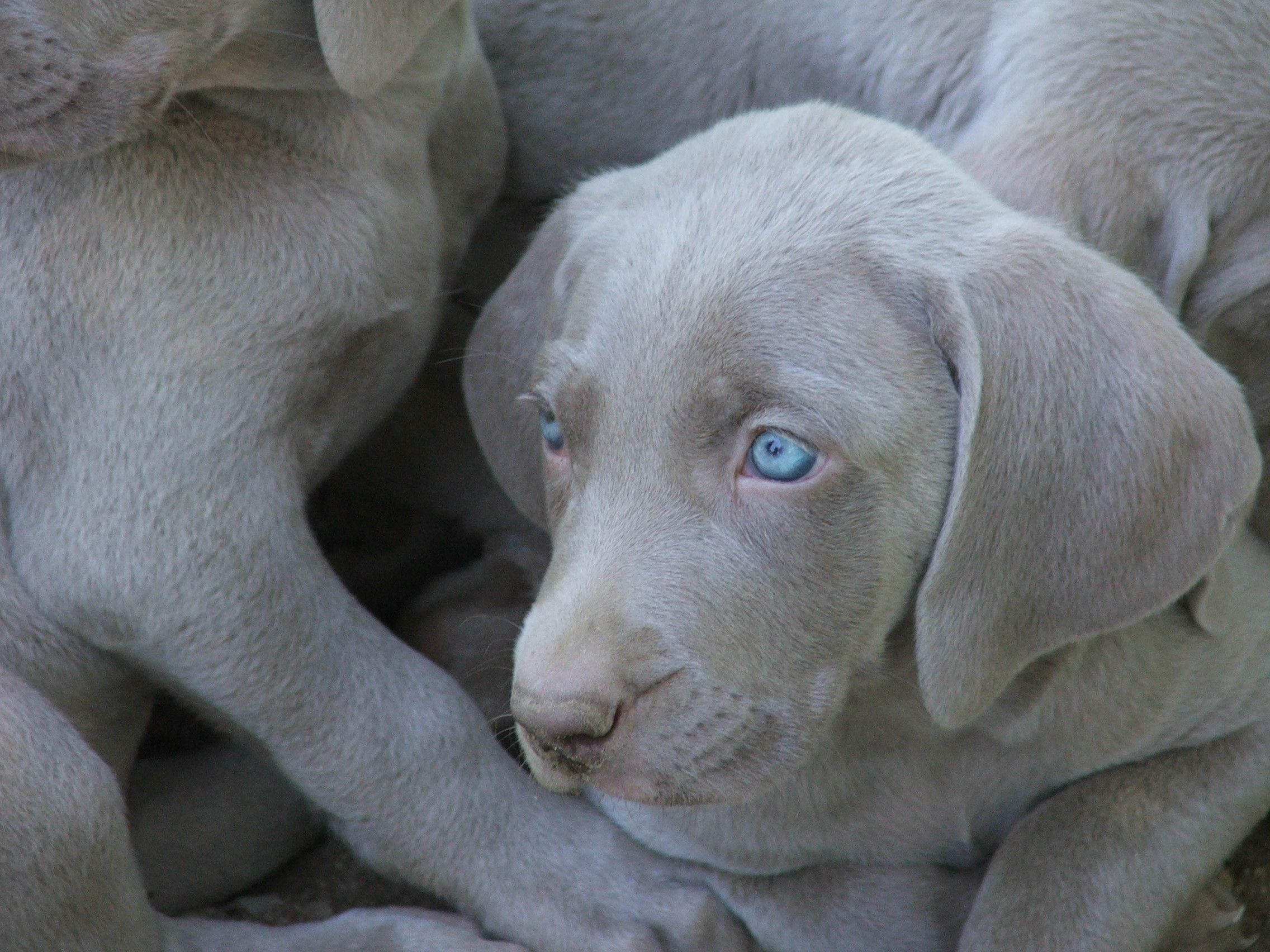 weimaraner puppy female blue eyes gray fur... I