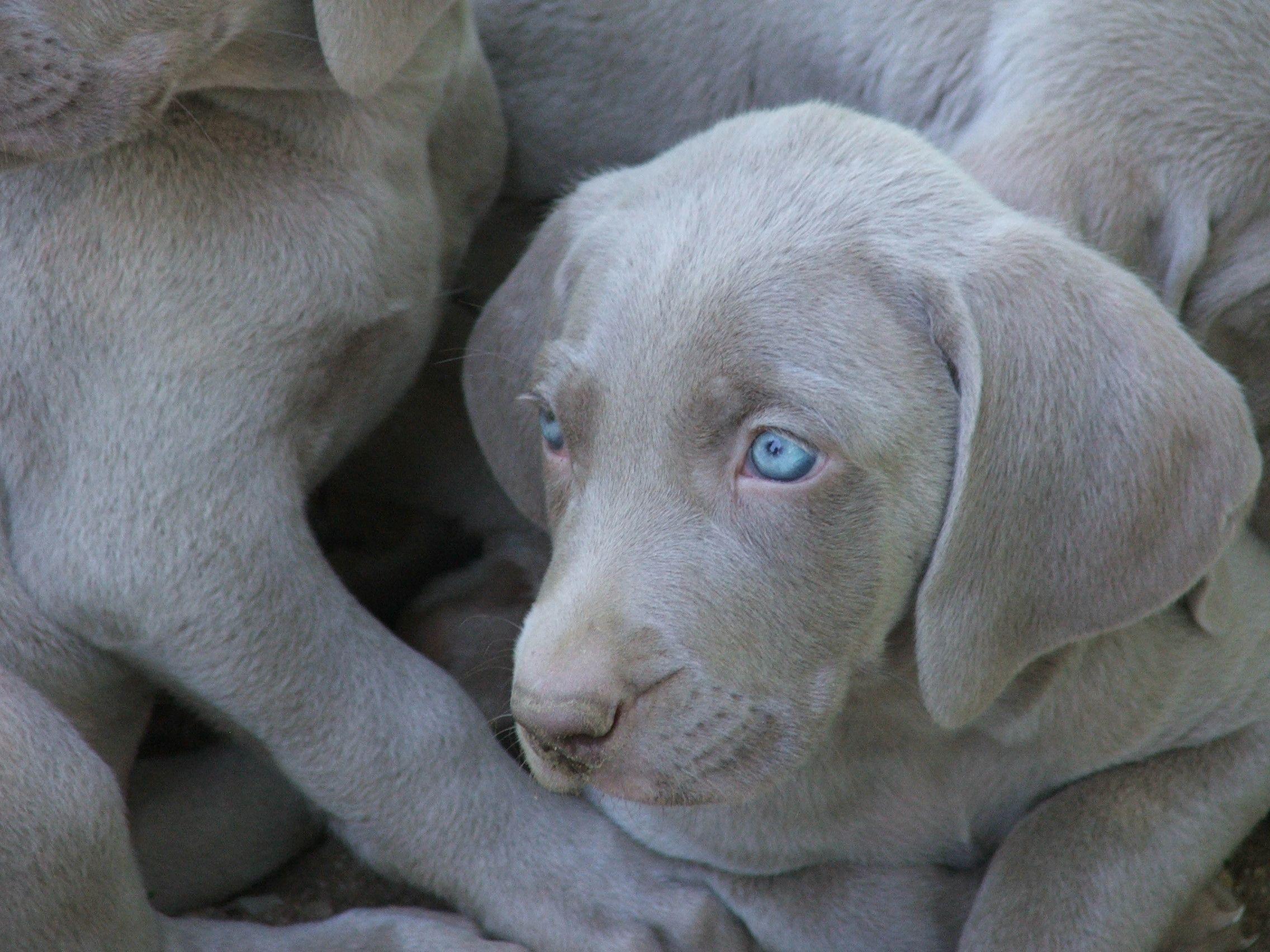 Weimaraner Weimaraner Puppies Weimaraner Dog Love