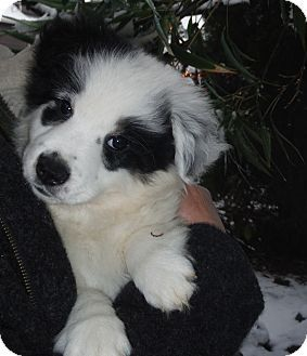 Snoqualmie Wa Australian Shepherd Border Collie Mix Meet