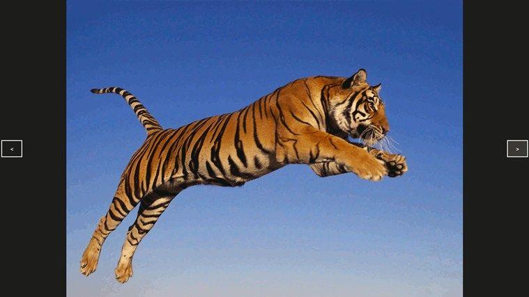 Desktop Hd Tiger Attack Pics: Tiger Slideshow Screensaver Download