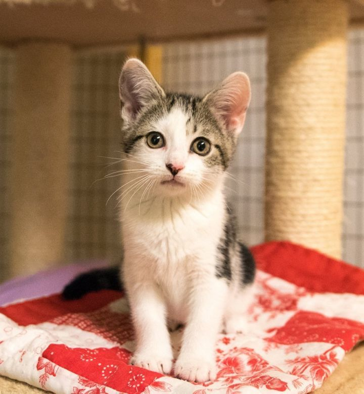 Adopt Petsmart Medina Cats & Kittens on Cats, kittens