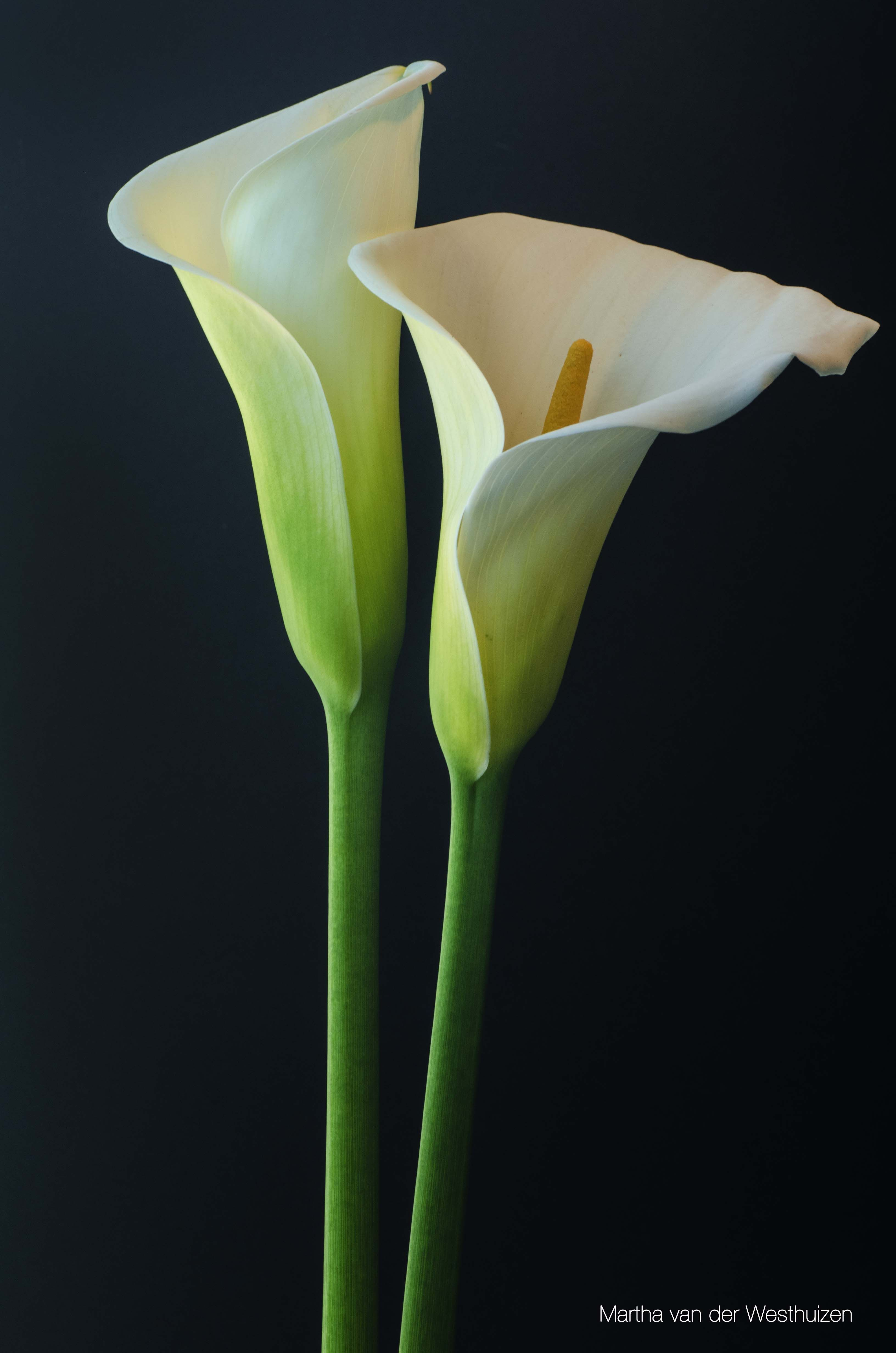 Arum Lilies - Photo by Martha van der Westhuizen