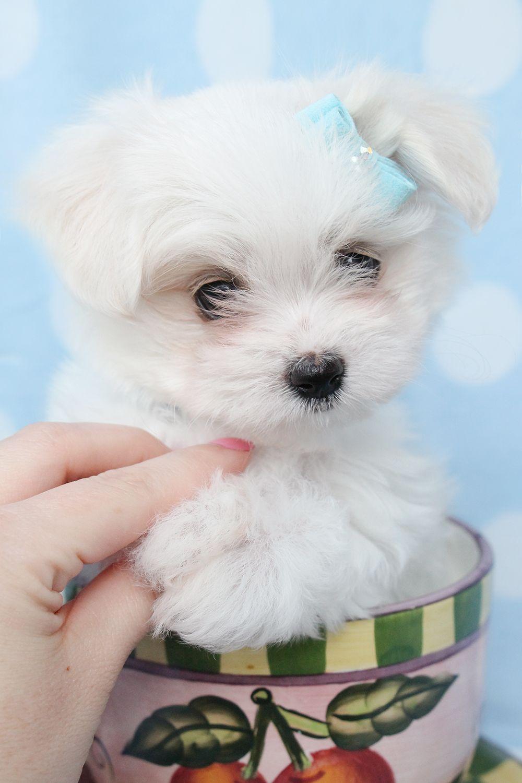 miewer166.jpg (1000×1500) Teacup puppies, Morkie