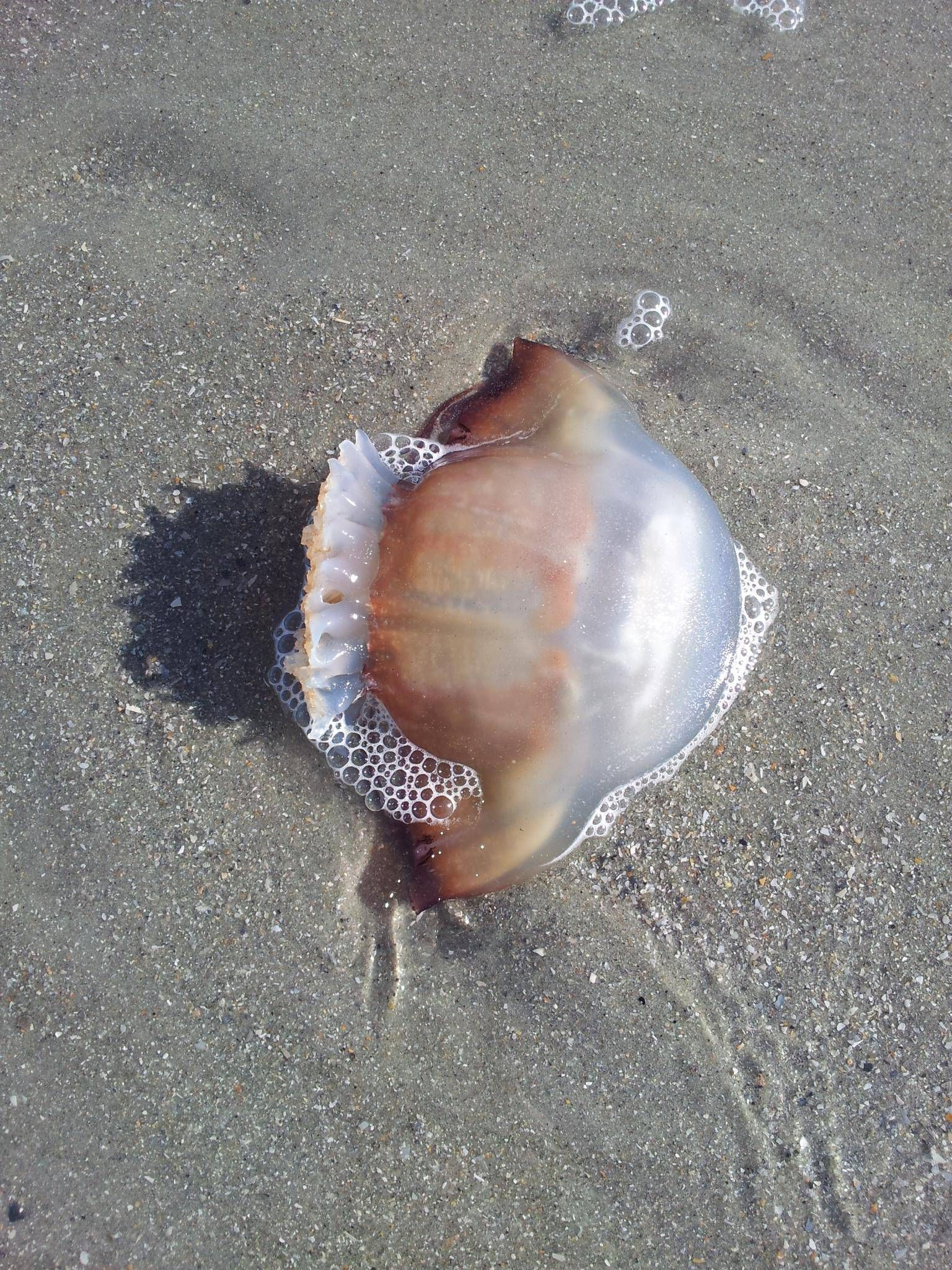 Cannonball Jellyfish Surfside Beach