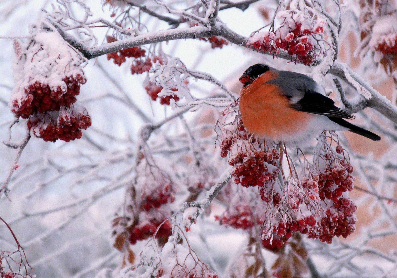 киношное начальство красивое фото рябина в зимнем лесу очень интересно